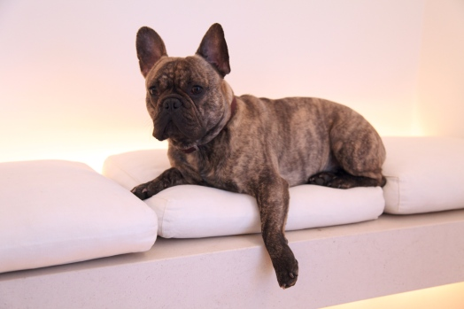 A_Brindle_French_Bulldog